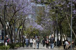 People stroll under blossoming jacaranda trees in the Alameda park in Mexico City,.
